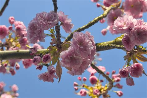Hassle Free Cherry Poppin by Free Poppin Cherry Blossoms Stock Photo Freeimages