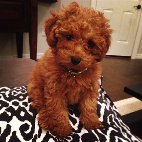 goldendoodle puppy toys 25 great ideas about goldendoodle on