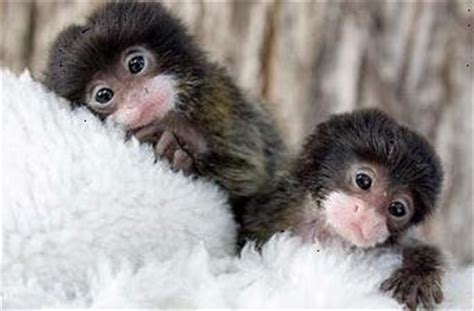 tinny finger monkey finger monkeys   called crumb