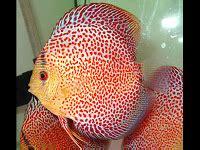 Cacing Kering Pakan Ikan november 2012 tanaman air dan ikan pada aquascape
