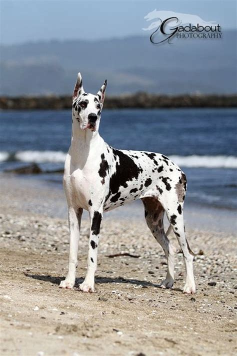 strongest breed 20 strongest breed of dogs in the world