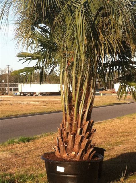 Landscape Supply Columbia Sc Garners Ferry Landscape Supply Mulch Columbia Sc Palm