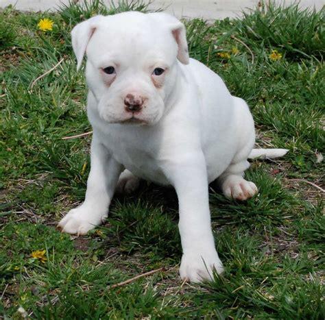 white bulldog puppy 1000 ideas about american bulldog puppies on american bulldogs blue nose