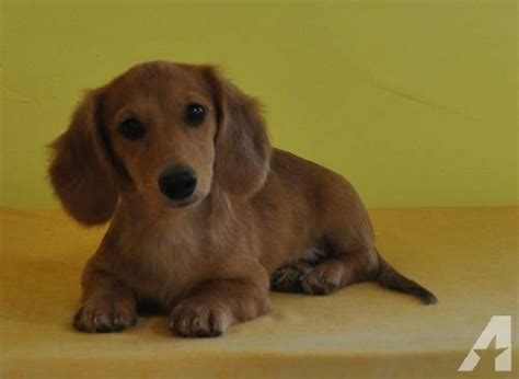 mini longhaired dachshund puppies for sale akc dapple longhaired mini dachshund puppies for sale in beckville