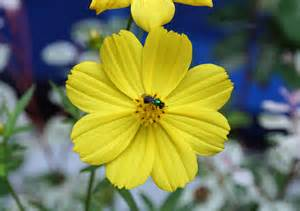 flower images photos of colombia flowers cosmos