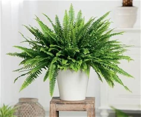 boston fern indoor plant in the white pot stunning indoor plants 10 indoor plants that help you breathe easy conditioning