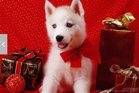 cute christmas husky pup dog holiday christmas dog husky puppy