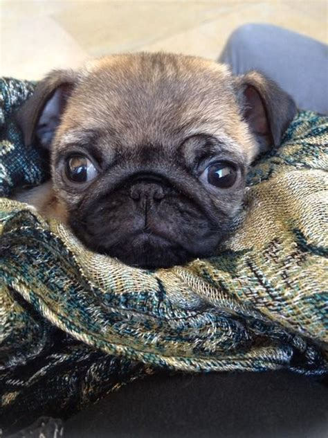 how to take care of a baby pug 1000 ideas about adopt a pug on pug mix pug rescue and pugs