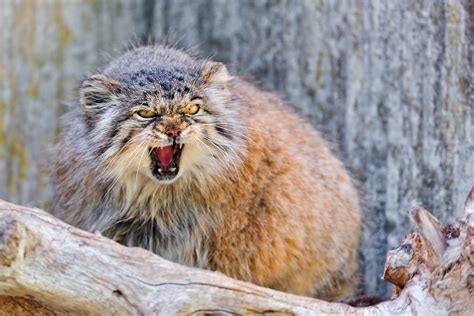 Cats Flickr by Angry Pallas Cat These Pallas Cats Are Always