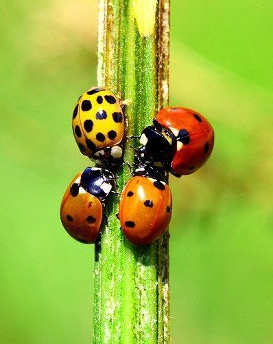 colors of ladybugs four different color bugs but not all called