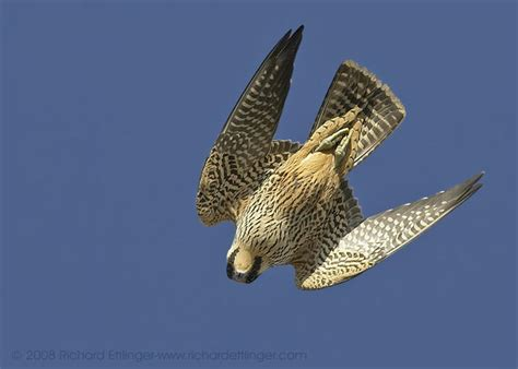 calendari dive peregrine falcon diving my hd animals