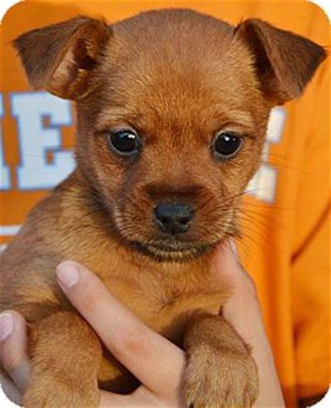 puppies for adoption nh deena adopted puppy londonderry nh pomeranian chihuahua mix