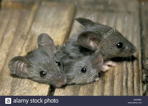 house mouse mus musculus three individuals squeezing