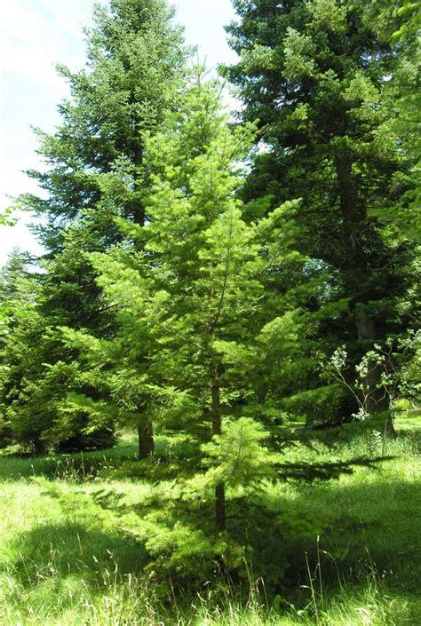 botanischer garten münchen sachalingran 48016 swedish common name abies