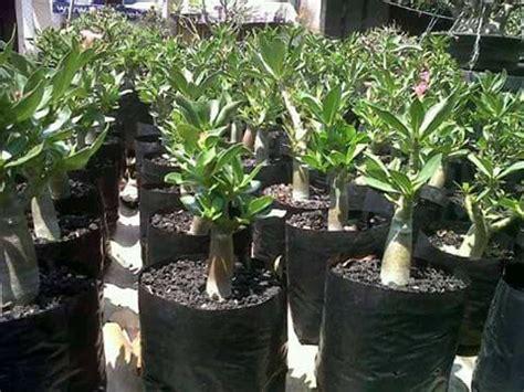 Tempat Jual Bibit Bunga Kamboja kamboja jepang atau adenium jual pohon adenium murah