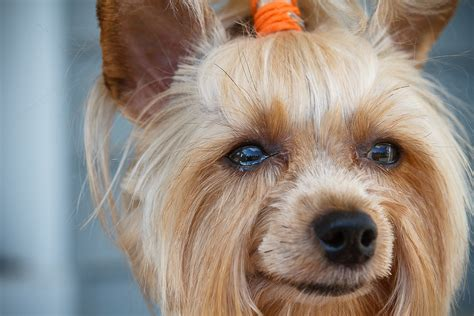 types of yorkie haircuts pictures yorkiepoo grooming styles hairstylegalleries com