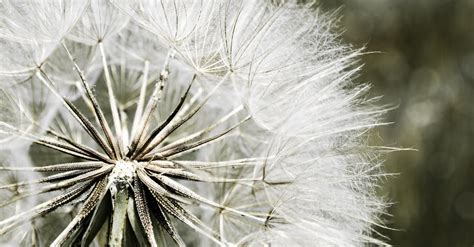 dandelion macro photography  stock photo