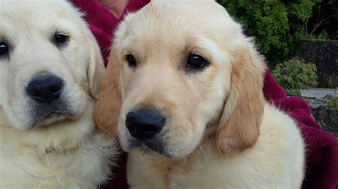 pedigree golden retriever puppies for sale 2 chunky pedigree golden retriever pups for sale llandysul ceredigion pets4homes