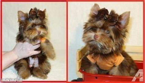 akc yorkie colors akc tiny teacup yorkie chocolate color for sale in alcot south carolina