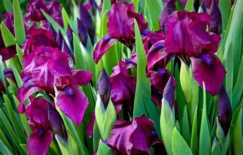 fiori iris significato iris linguaggio dei fiori