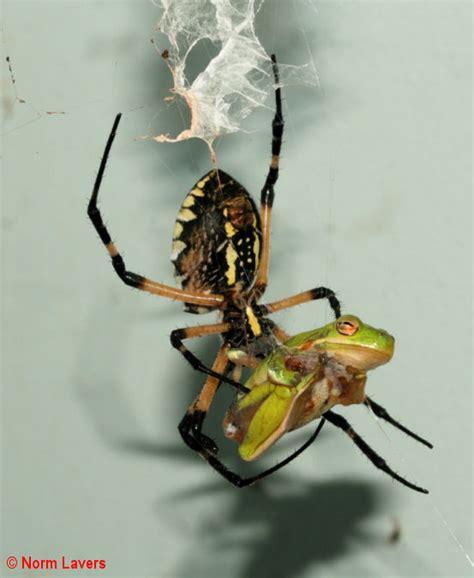 Garden Spider Are They Poisonous Argiope Aurantia