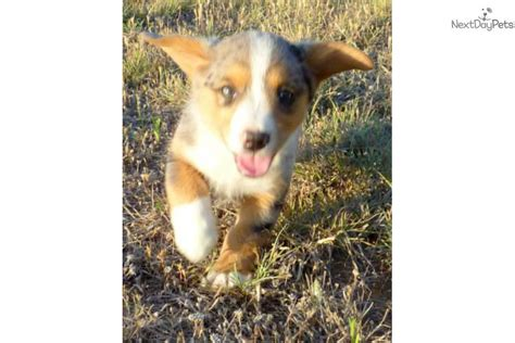 corgi puppies for sale dallas corgi cardigan for sale for 700 near dallas fort worth 72ca6e7b 68f1