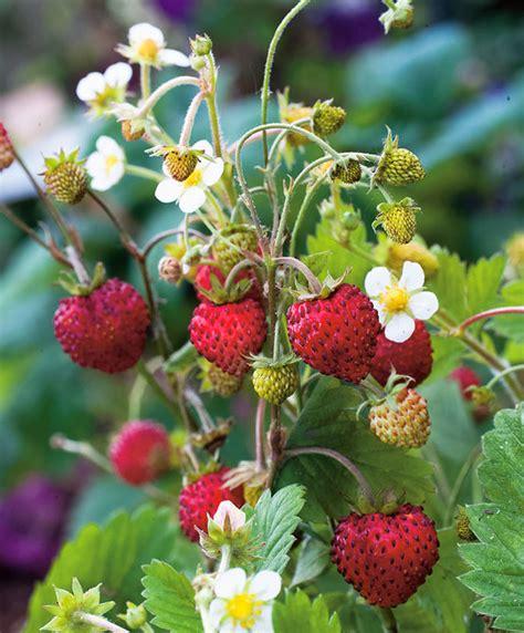 buy wild strawberry regina bakkercom