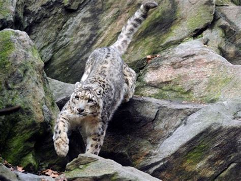 7 Most Animals by 7 Most Dangerous Cats Unpredictable Nature