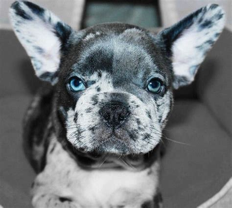 blue merle bulldog puppy 17 best images about bulldogs on animaux puppys and bulldog puppies