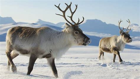 how to get raindear anters white 15 things you didn t about reindeer mnn nature network