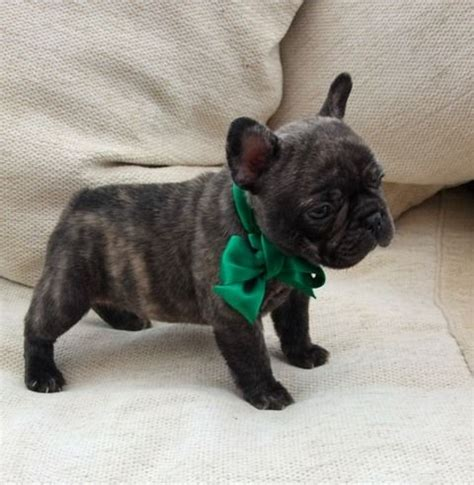 brindle bulldog puppies fabulous bulldog puppy brindle horncastle lincolnshire pets4homes