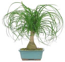 Ponytail palm bonsai tree asian plants by brussel s