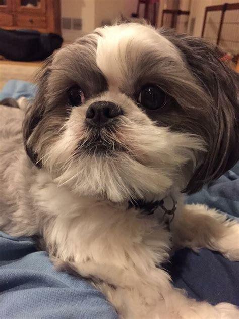 shih tzu eyelashes 312 best images about shih tzu on puppys eyelashes and lhasa