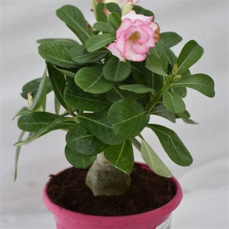 Gamis Adenium Pink Uk M desert pink flowers buy desert pink flowers