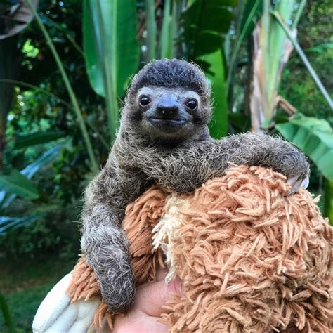 sloth going to the bathroom coyote peterson helps a rescued baby sloth go poo in the