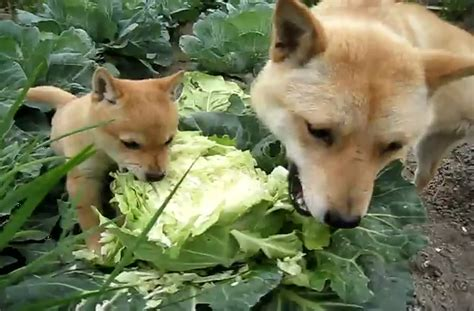 can dogs cabbage doggies eat cabbage in a garden