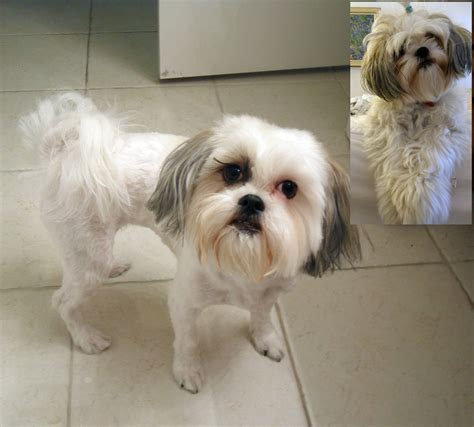 shih poo hair cuts havanese puppy cut before and after dog breeds picture