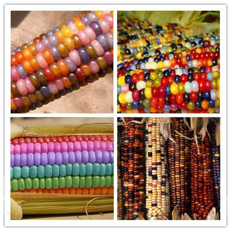 colorful corn 20x corn seeds ornamental colored corn seed