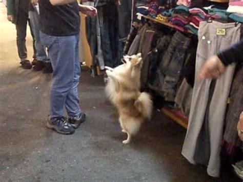 pomeranian doing tricks pomeranian and kleinspitz do tricks funnydog tv