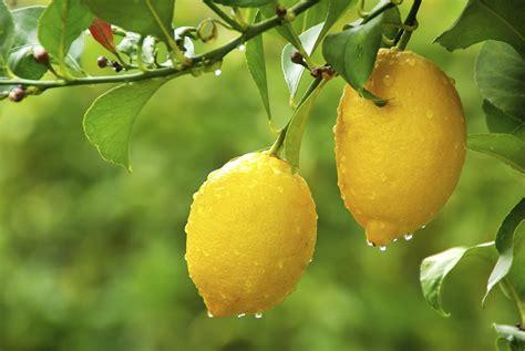 7 fruit tree meyer lemon trees 7 secrets for loads of fruit fast