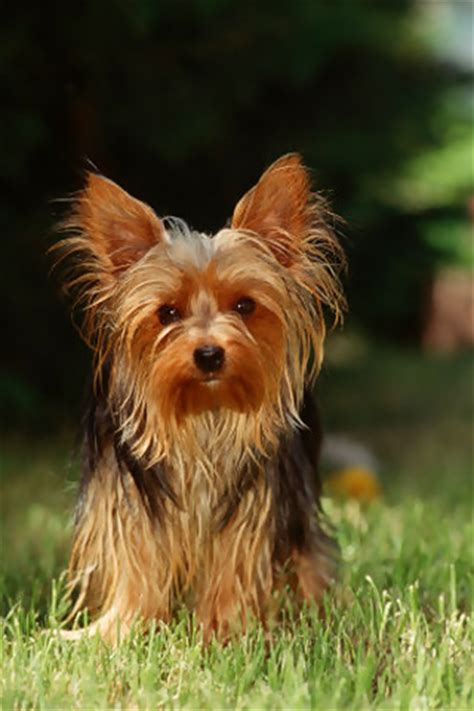 yorkie history terrier breed information history health pictures and more