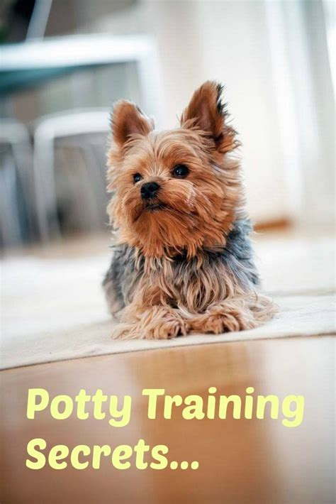 yorkie secrets 1003 best images about yorkies on see best ideas about terrier