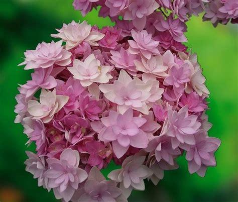ortensia significato linguaggio dei fiori l ortensia