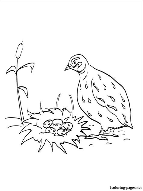 coloring book quail quail coloring page for free coloring pages
