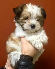 lifespan of yorkie poodle best 20 maltese poodle ideas on maltese
