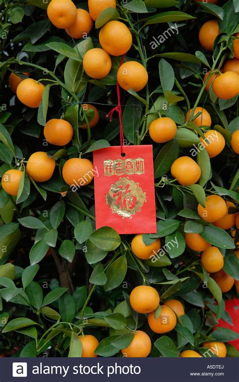 orange trees new year miniature orange tree with envelopes attached during