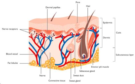 structure of the skin diagram labeled blank skin structure diagram human anatomy