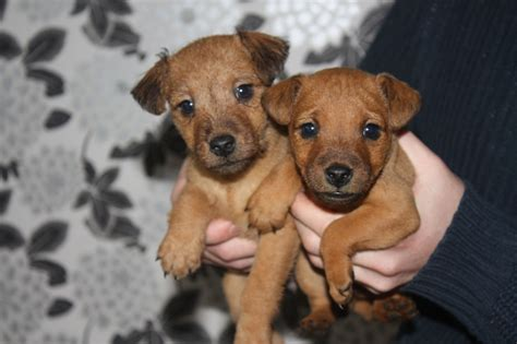 pet stores in ct that sell puppies puppies for sale breeders pet stores buy a puppy pets world