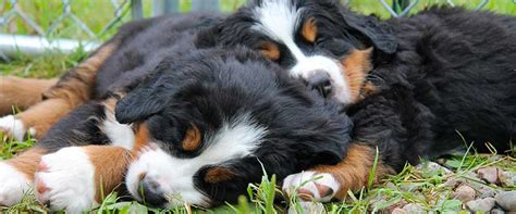 bernese mountain puppies california cape bernese the bernese mountain kennel at cape breton island scotia canada