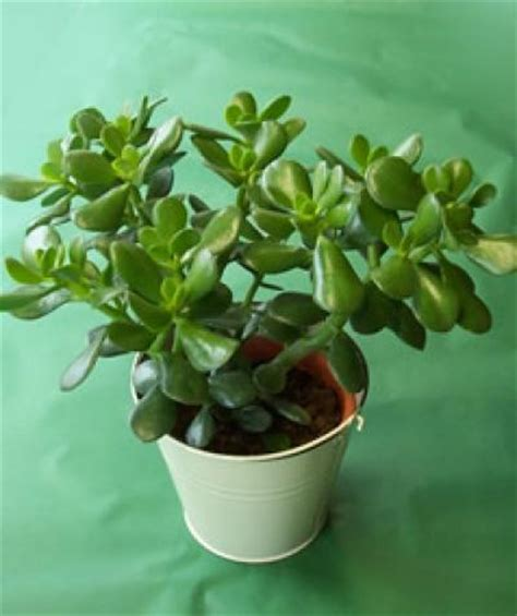 money plant for new year is cool lucky money plant
